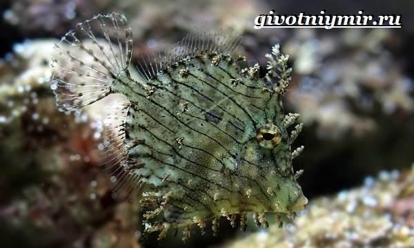 Спинорог-рыба-Образ-жизни-и-среда-обитания-спинорога-10