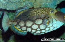 Спинорог рыба. Образ жизни и среда обитания спинорога