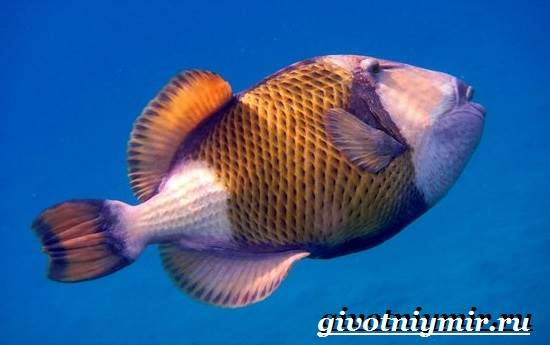 Спинорог-рыба-Образ-жизни-и-среда-обитания-спинорога-5