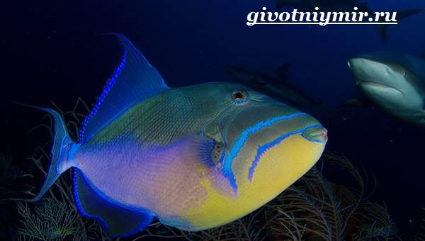 Спинорог-рыба-Образ-жизни-и-среда-обитания-спинорога-6