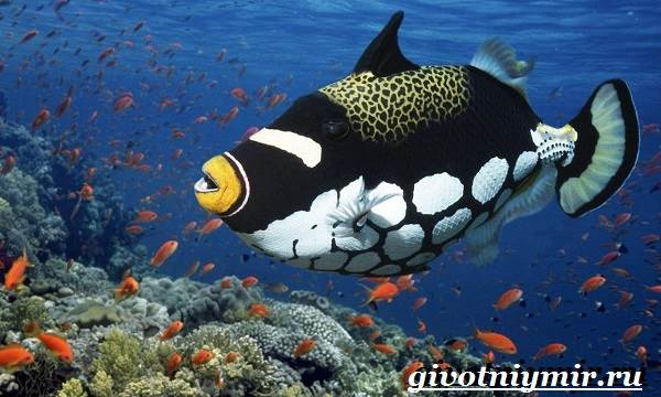 Спинорог-рыба-Образ-жизни-и-среда-обитания-спинорога-7