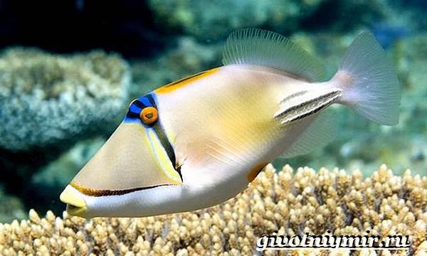 Спинорог-рыба-Образ-жизни-и-среда-обитания-спинорога-8