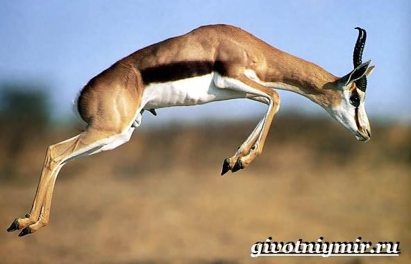 Спрингбок-антилопа-Образ-жизни-и-среда-обитания-антилопы-спрингбок-3