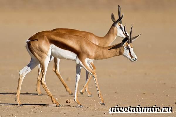 Спрингбок-антилопа-Образ-жизни-и-среда-обитания-антилопы-спрингбок-7