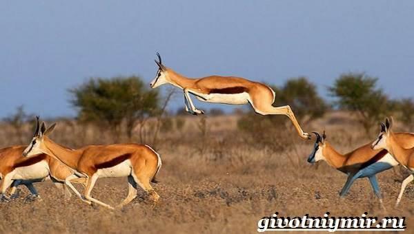 Спрингбок-антилопа-Образ-жизни-и-среда-обитания-антилопы-спрингбок-2