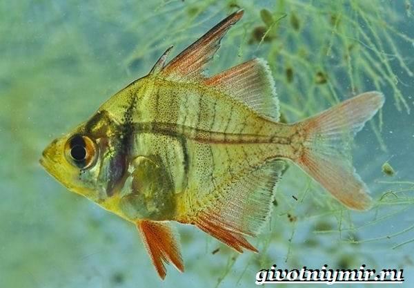 Стеклянный-окунь-рыба-Образ-жизни-и-среда-обитания-стеклянного-окуня-10
