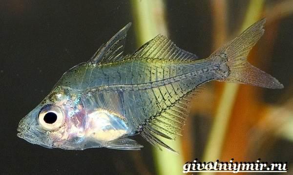 Стеклянный-окунь-рыба-Образ-жизни-и-среда-обитания-стеклянного-окуня-2