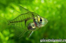 Стеклянный окунь рыба. Образ жизни и среда обитания стеклянного окуня