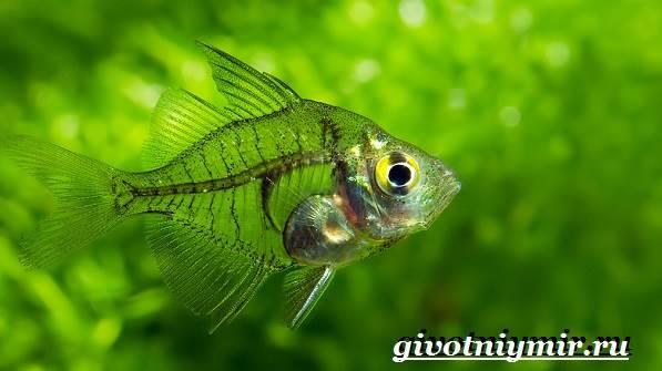 Стеклянный-окунь-рыба-Образ-жизни-и-среда-обитания-стеклянного-окуня-3