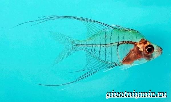 Стеклянный-окунь-рыба-Образ-жизни-и-среда-обитания-стеклянного-окуня-5