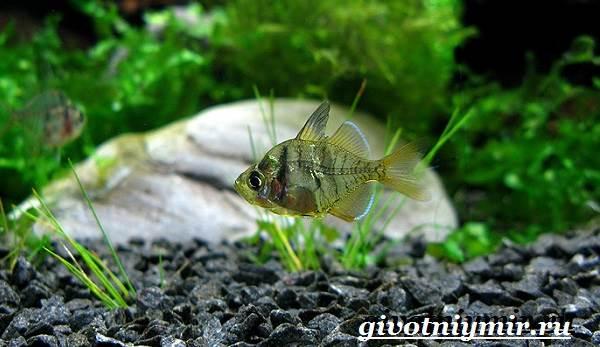 Стеклянный-окунь-рыба-Образ-жизни-и-среда-обитания-стеклянного-окуня-7