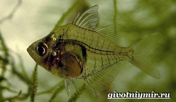 Стеклянный-окунь-рыба-Образ-жизни-и-среда-обитания-стеклянного-окуня-9