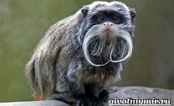 Тамарин-обезьяна-Образ-жизни-и-среда-обитания-тамарина-1