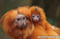 Тамарин обезьяна. Образ жизни и среда обитания тамарина
