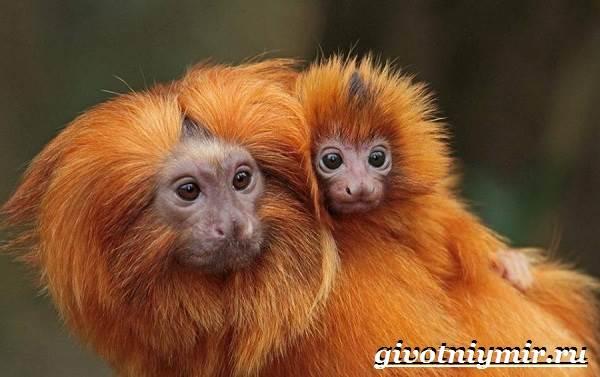 Тамарин-обезьяна-Образ-жизни-и-среда-обитания-тамарина-10