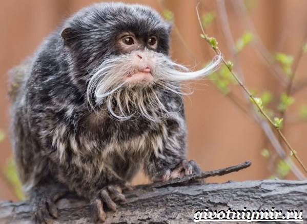 Тамарин-обезьяна-Образ-жизни-и-среда-обитания-тамарина-2