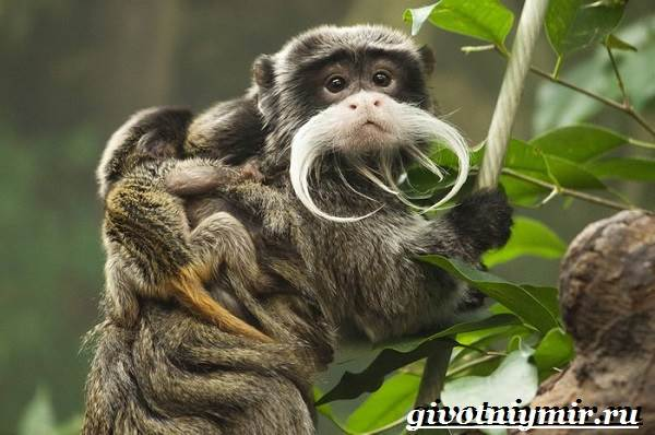 Тамарин-обезьяна-Образ-жизни-и-среда-обитания-тамарина-3
