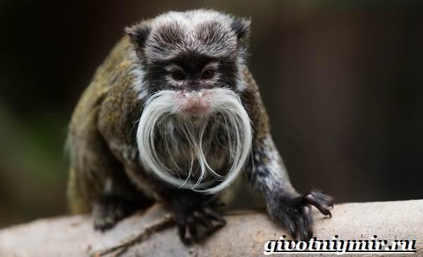 Тамарин-обезьяна-Образ-жизни-и-среда-обитания-тамарина-4