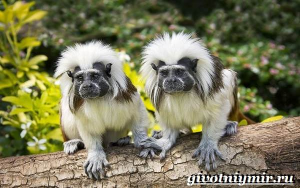 Тамарин-обезьяна-Образ-жизни-и-среда-обитания-тамарина-5