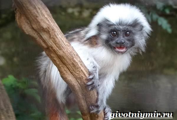 Тамарин-обезьяна-Образ-жизни-и-среда-обитания-тамарина-6