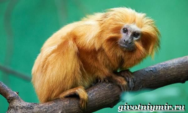 Тамарин-обезьяна-Образ-жизни-и-среда-обитания-тамарина-7