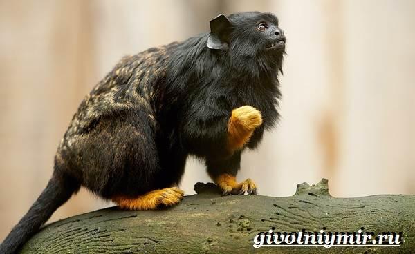 Тамарин-обезьяна-Образ-жизни-и-среда-обитания-тамарина-8