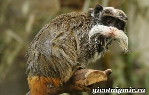 Тамарин-обезьяна-Образ-жизни-и-среда-обитания-тамарина-9