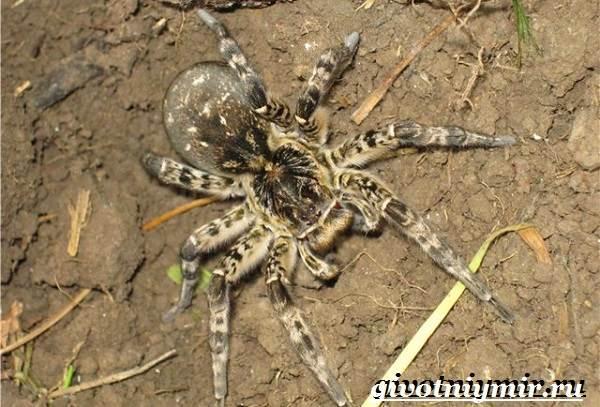 Тарантул-паук-Образ-жизни-и-среда-обитания-паука-тарантула-9