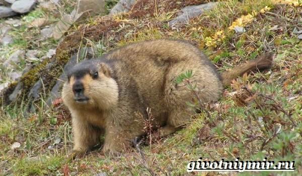 Тарбаган-сурок-Образ-жизни-и-среда-обитания-тарбагана-1