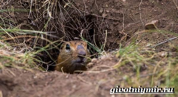 Тарбаган-сурок-Образ-жизни-и-среда-обитания-тарбагана-5