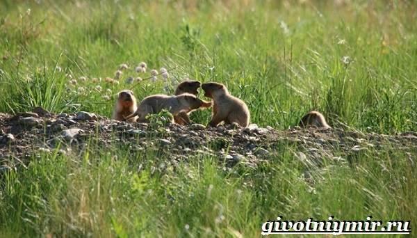 Тарбаган-сурок-Образ-жизни-и-среда-обитания-тарбагана-7