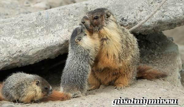 Тарбаган-сурок-Образ-жизни-и-среда-обитания-тарбагана-8