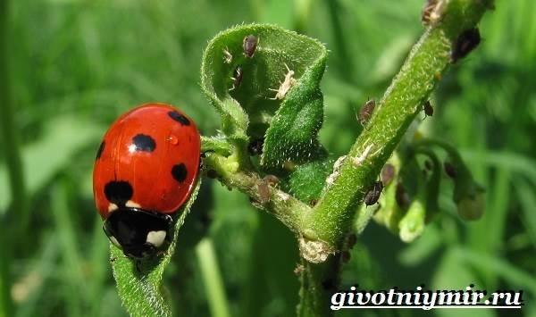 Тля-насекомое-Образ-жизни-и-среда-обитания-тли-3