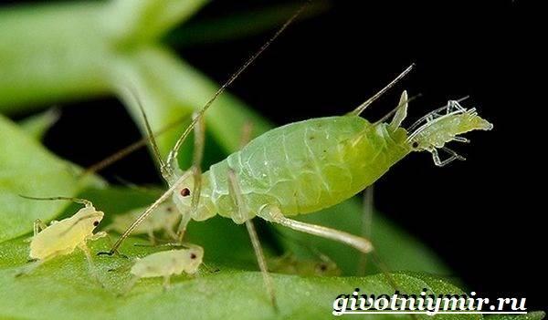 Тля-насекомое-Образ-жизни-и-среда-обитания-тли-5