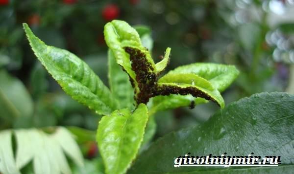 Тля-насекомое-Образ-жизни-и-среда-обитания-тли-6