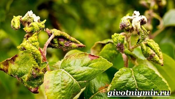 Тля-насекомое-Образ-жизни-и-среда-обитания-тли-9