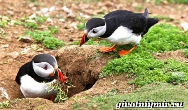 Тупик-птица-Образ-жизни-и-среда-обитания-птицы-тупик-10