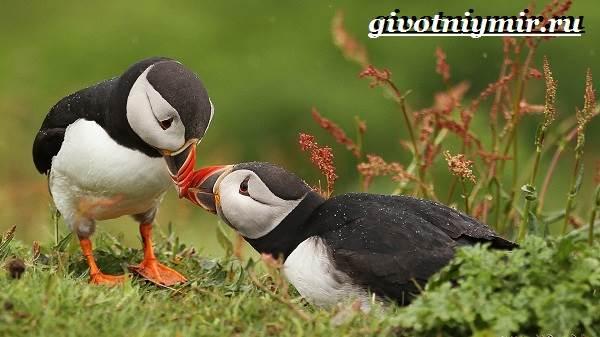 Тупик-птица-Образ-жизни-и-среда-обитания-птицы-тупик-2