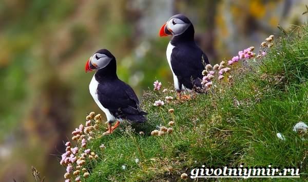 Тупик-птица-Образ-жизни-и-среда-обитания-птицы-тупик-3