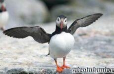 Тупик птица. Образ жизни и среда обитания птицы тупик