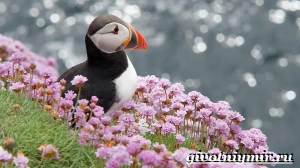 Тупик-птица-Образ-жизни-и-среда-обитания-птицы-тупик-5