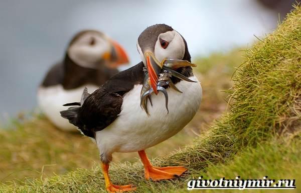 Тупик-птица-Образ-жизни-и-среда-обитания-птицы-тупик-8