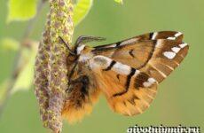 Тутовый шелкопряд насекомое. Образ жизни и среда обитания тутового шелкопряда