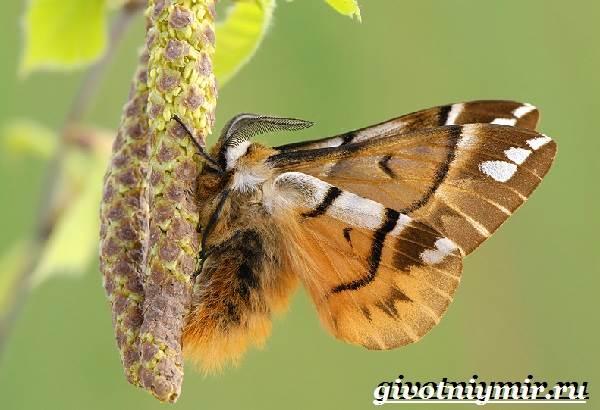 Тутовый-шелкопряд-насекомое-Образ-жизни-и-среда-обитания-тутового-шелкопряда-1