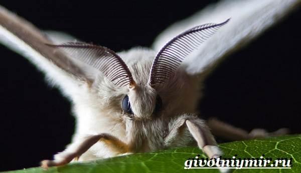 Тутовый-шелкопряд-насекомое-Образ-жизни-и-среда-обитания-тутового-шелкопряда-2