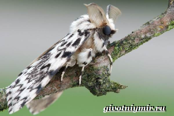Тутовый-шелкопряд-насекомое-Образ-жизни-и-среда-обитания-тутового-шелкопряда-4