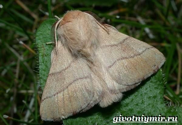 Тутовый-шелкопряд-насекомое-Образ-жизни-и-среда-обитания-тутового-шелкопряда-5