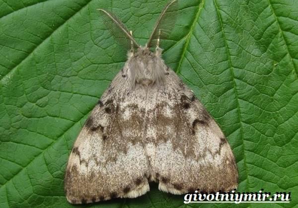 Тутовый-шелкопряд-насекомое-Образ-жизни-и-среда-обитания-тутового-шелкопряда-7
