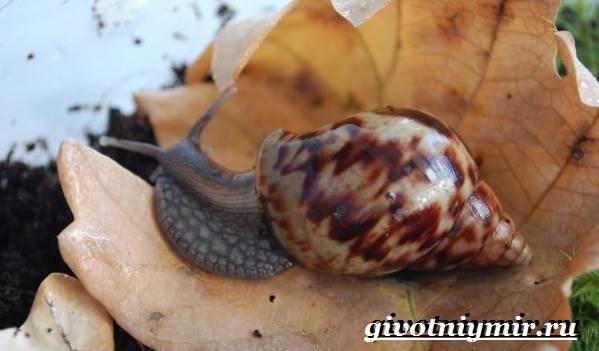 Улитка-ахатина-Образ-жизни-и-среда-обитания-улитки-ахатины-3