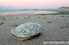 Устрица моллюск. Образ жизни и среда обитания устрицы